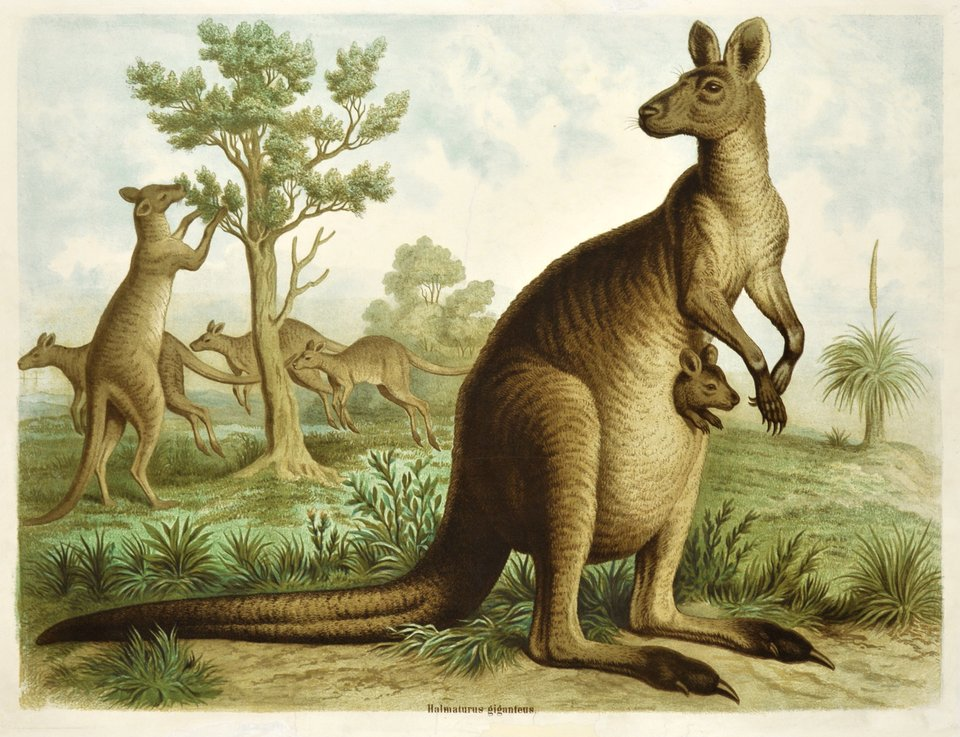 The kangaroo – Vintage poster – ANONYMOUS – 1900